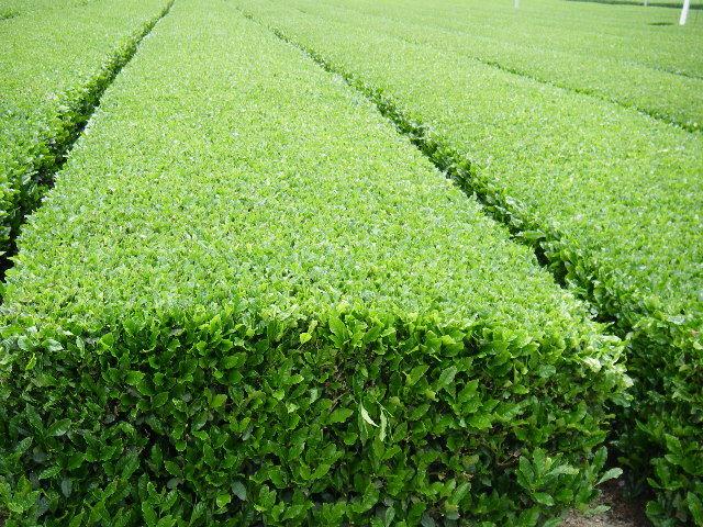 お茶畑(RG3709).JPG
