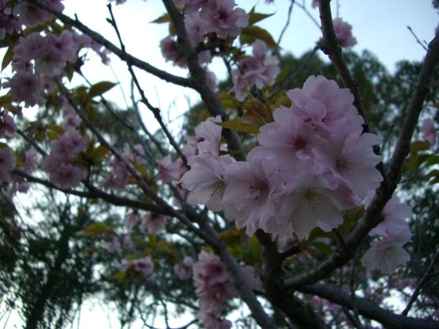 遅咲きの桜(CG2608).JPG