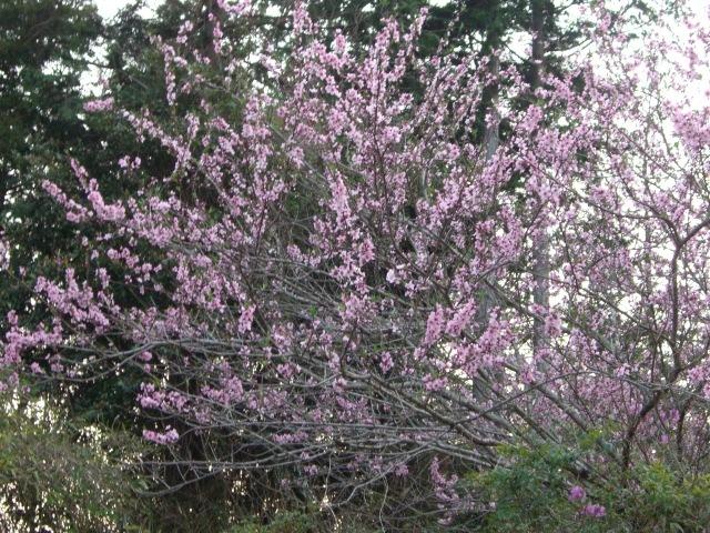 遅咲きの桜の木(CG2611).JPG