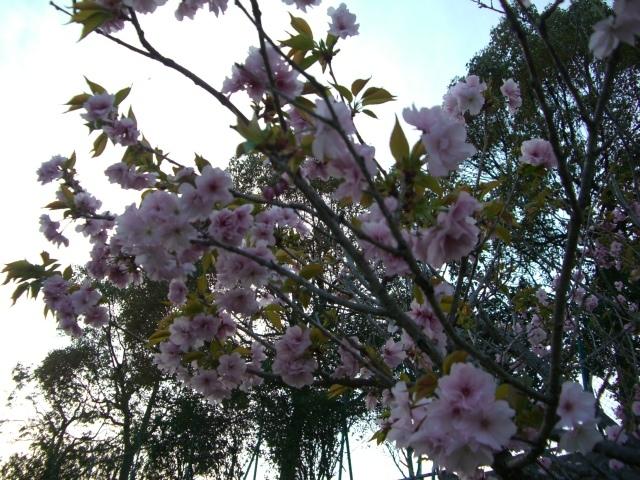 遅咲きの桜全景(CG2609).JPG