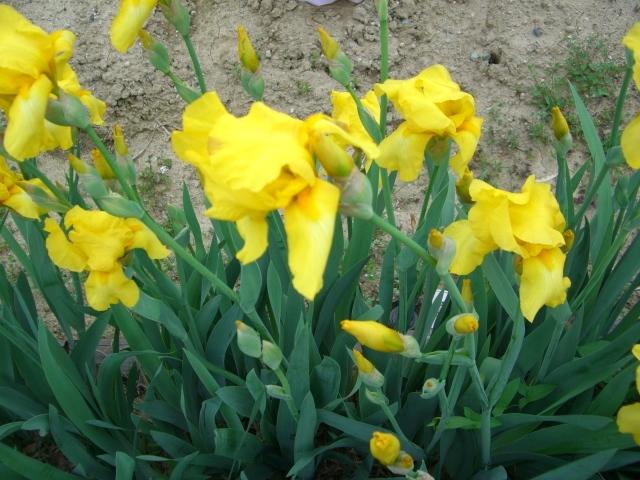 黄色いハナショウブ(CG2631).JPG